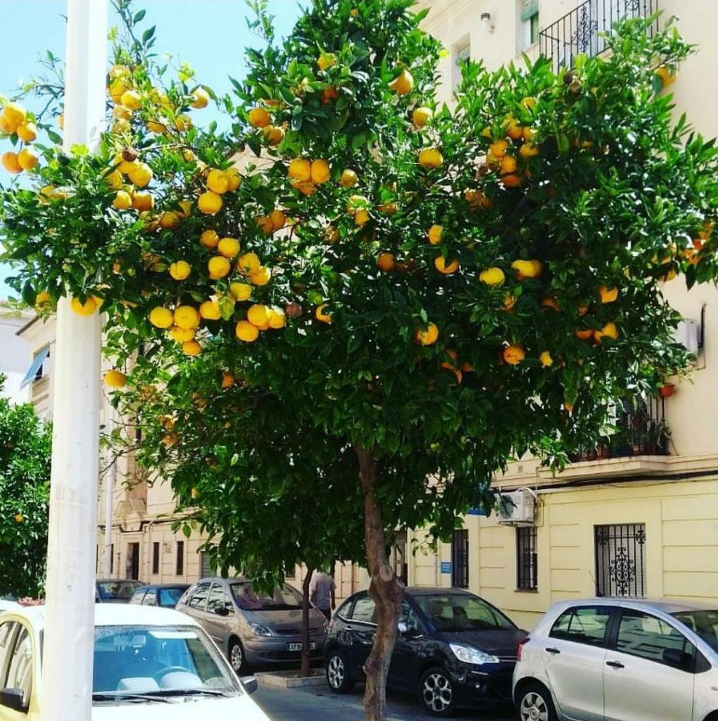 Sinaasappelboom Valencia Spanje